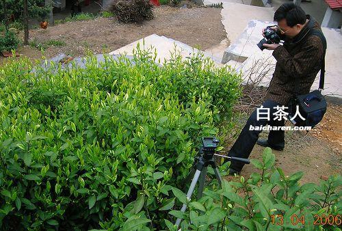 叶羽晴川 从此爱上安吉白茶图片
