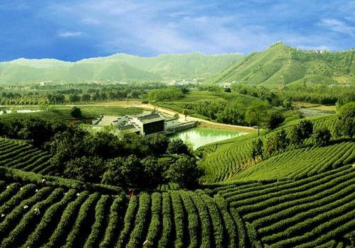 安吉白茶的产地环境图片