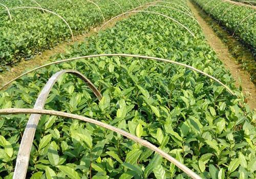 安吉白茶种植技术图片