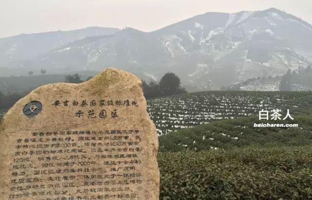 安吉白茶茶园记录-2016年立春图片