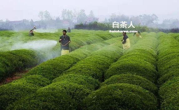 2016年安吉白茶多少钱一斤 新茶市场价格