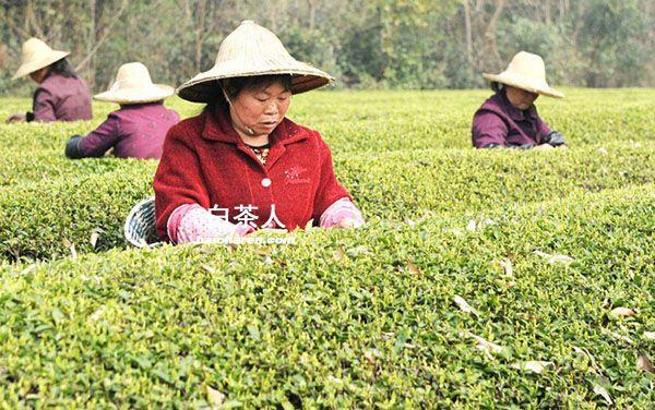 2016年安吉白茶3月底将开采图片